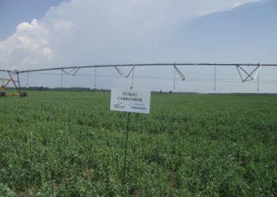 Borsó vetőmag termesztés, Fumag NK-Mo kezeléssel - Jászfényszaru