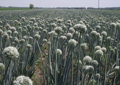 Vöröshagyma vetőmag termesztés, Carbonbor és Fumag kezeléssel - Mezőhegyes