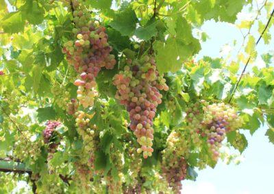 Pécsi Tudományegyetem SZBKI csemegeszőlő lugas - az év lugasa 2019
