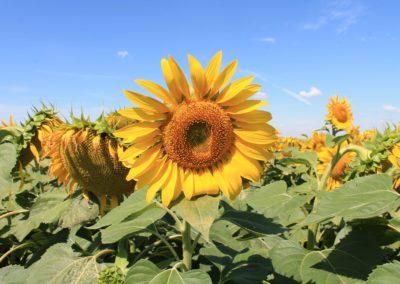 Napraforgó virágzásban - Ecsegfalva